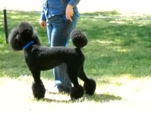 lapoc-poodle-specialty-2010-13