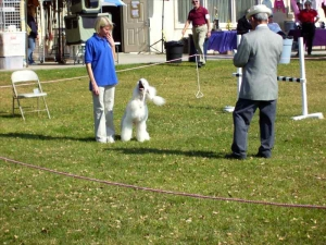 lapoc-poodle-top-dog-2007-11